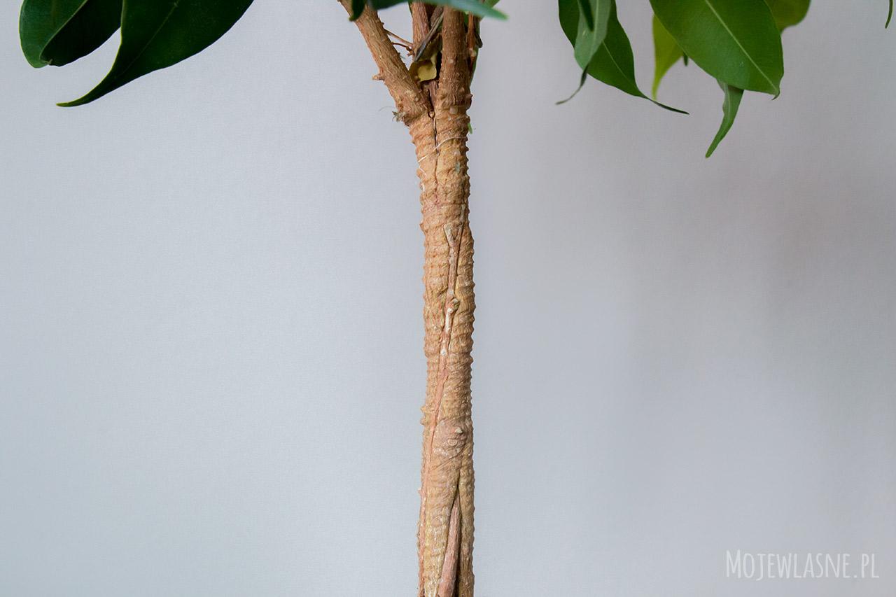jak wyhodować drzewko